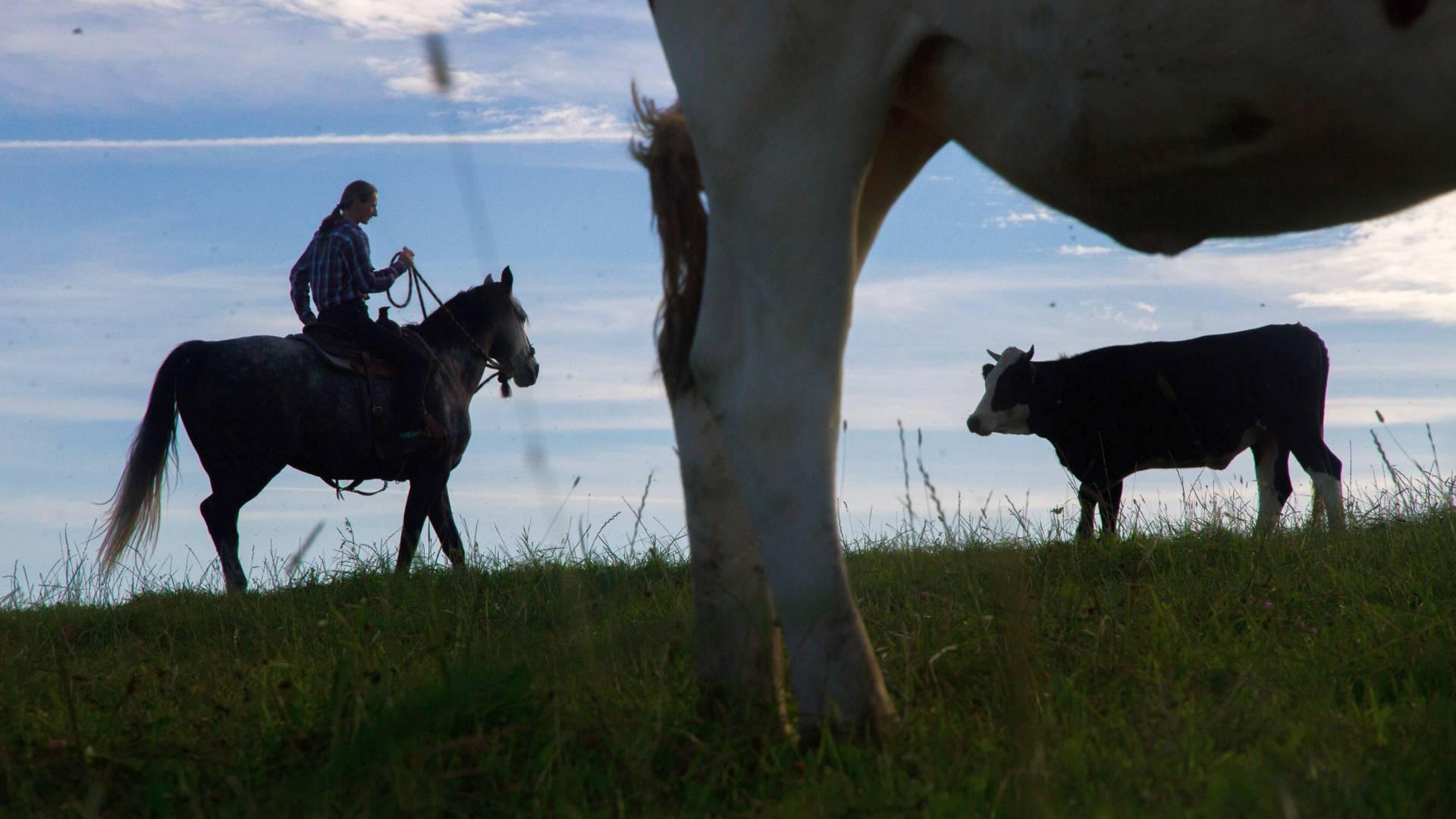 Pasák krav na koni při práci