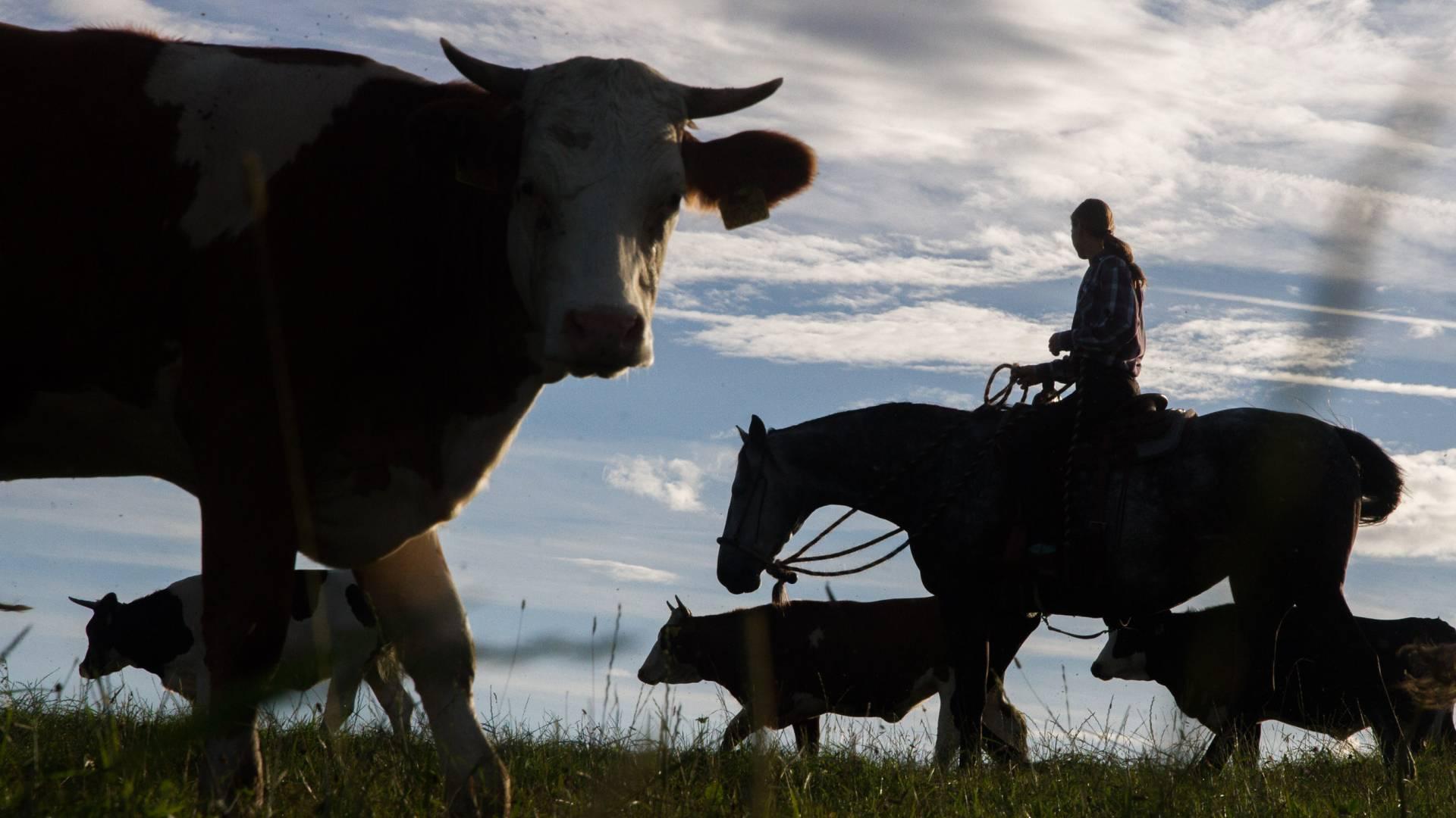Pasák na koni shání krávy