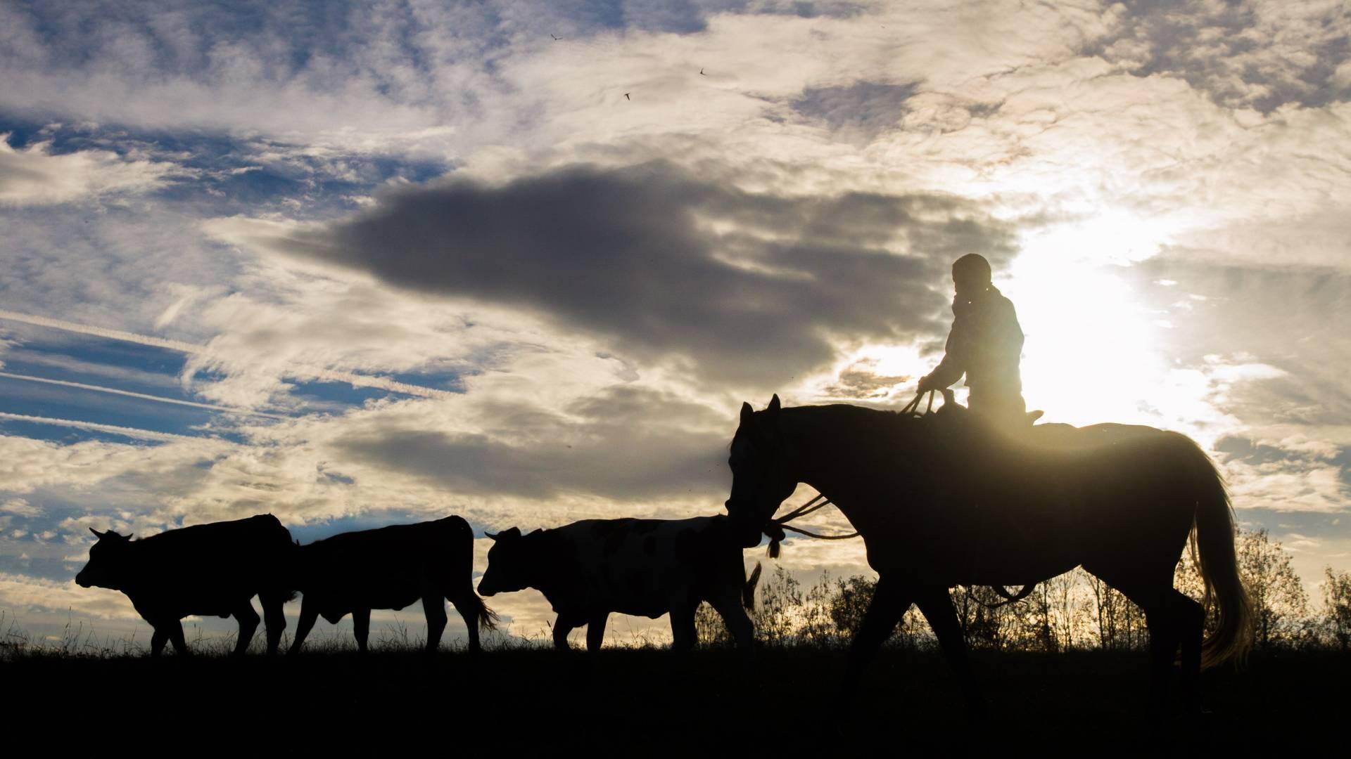Podvečerní shánění stáda krav