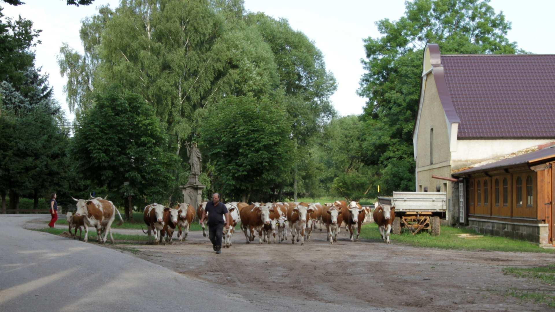 Přivádění stáda krav z pastvy zpátky do stájí na statu Fořt