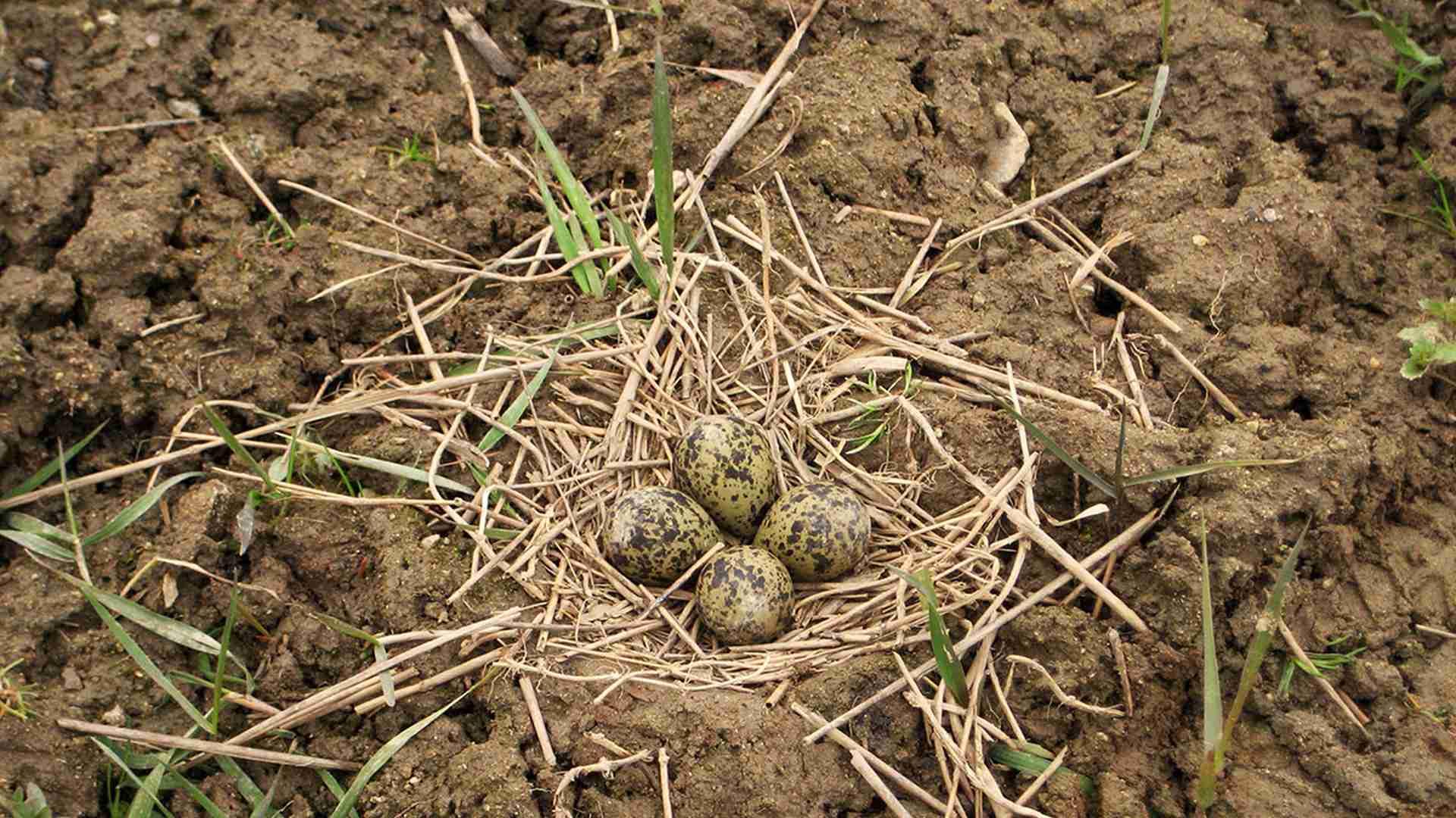 Ptačí hnízdo s vajíčky na poli