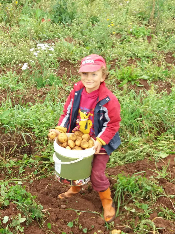 Mladý chlapec pomáhá se sběrem brambor