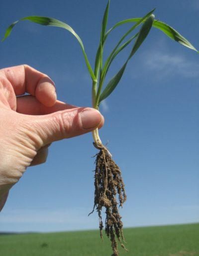 Bohatý kořenový systém dokládá zdravost půdy, ve které rostlina klíčila a rostla