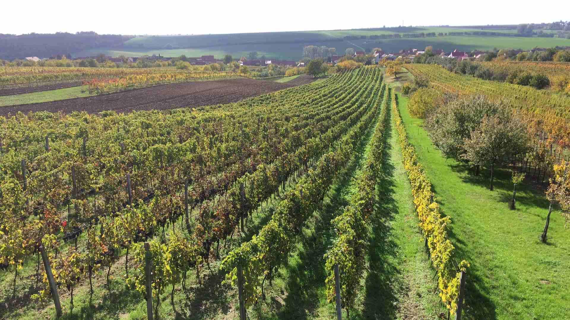 Vinařství Krásná Hora - vinice na jaře
