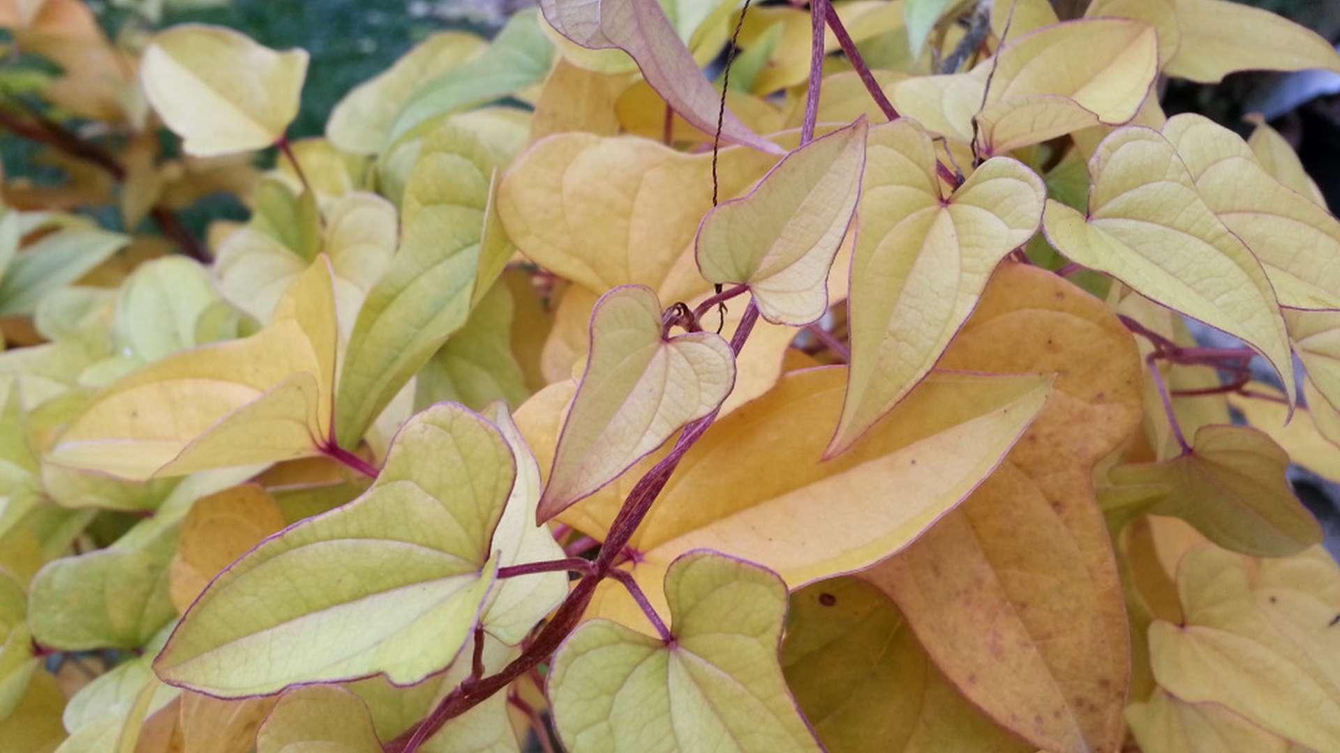 Zežloutlé listy světelného kořene
