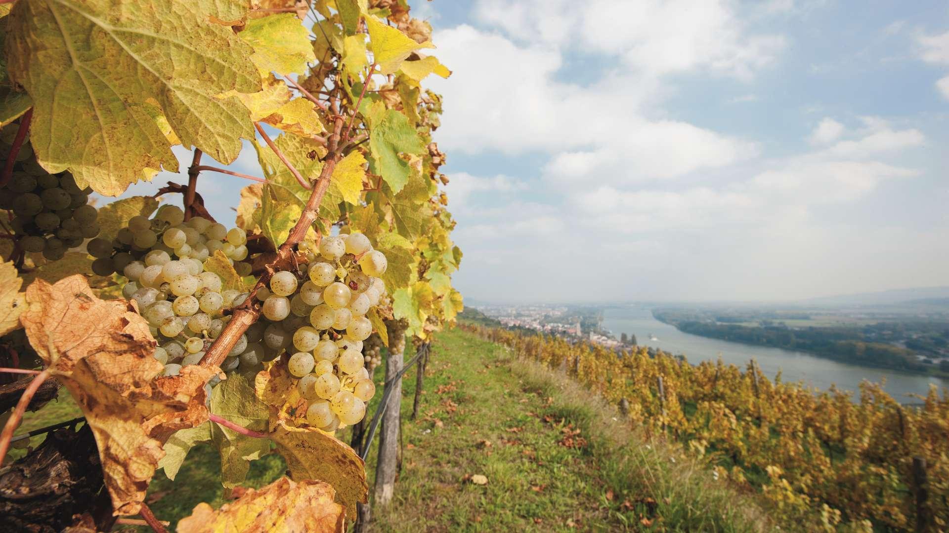 Vinohrad a krajina